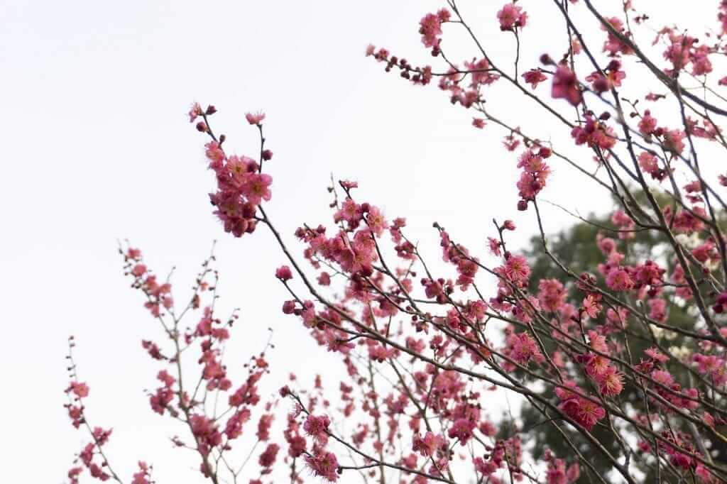 spring cherry blossoms china