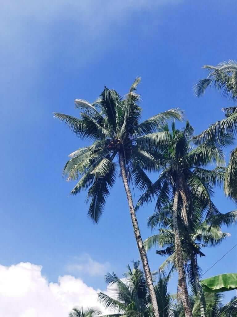 siargao palm trees