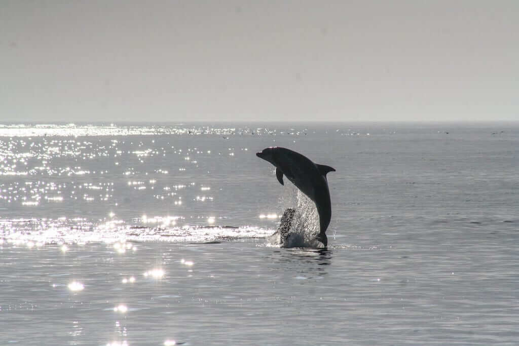 Dolphin sighting is another activity Goa is famous for
