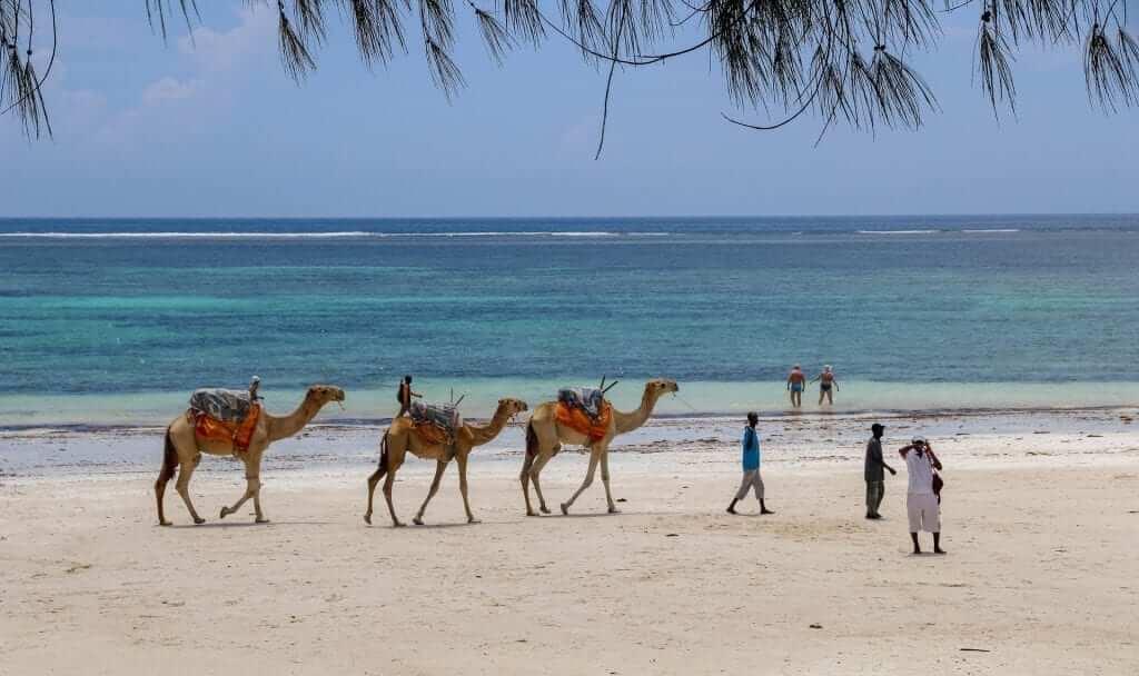 camels kenya coast