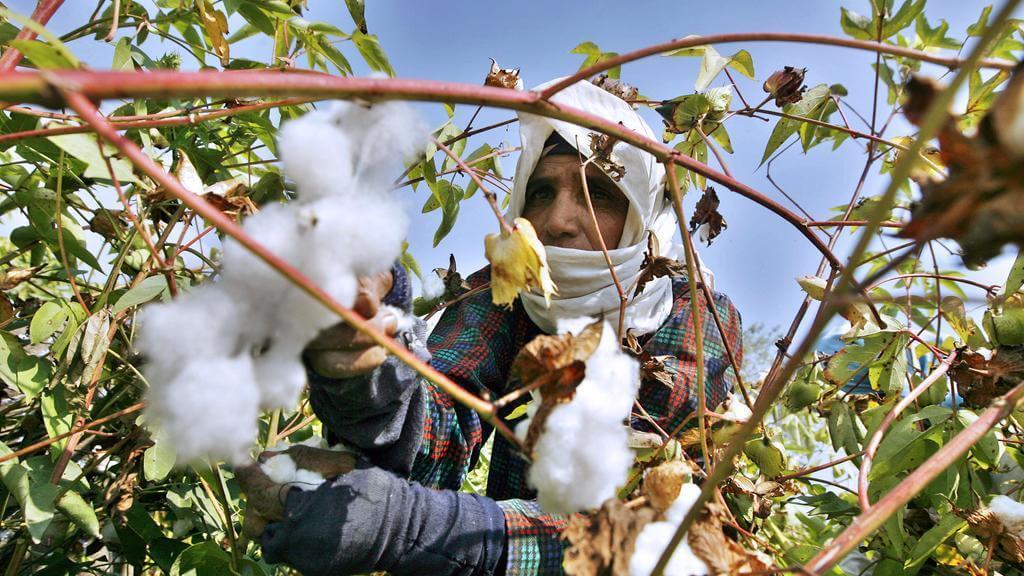 cotton picking egypt