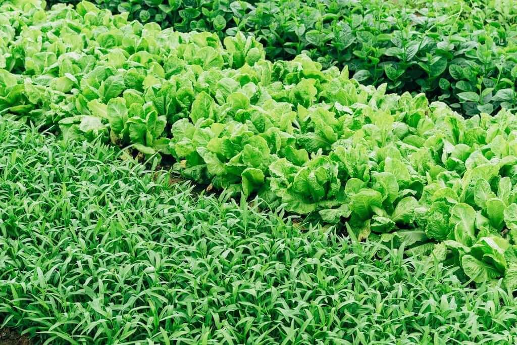 green vegetables farm