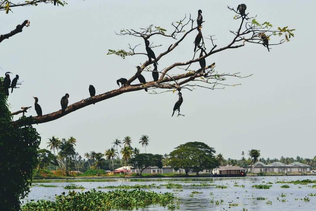 kochi birds
