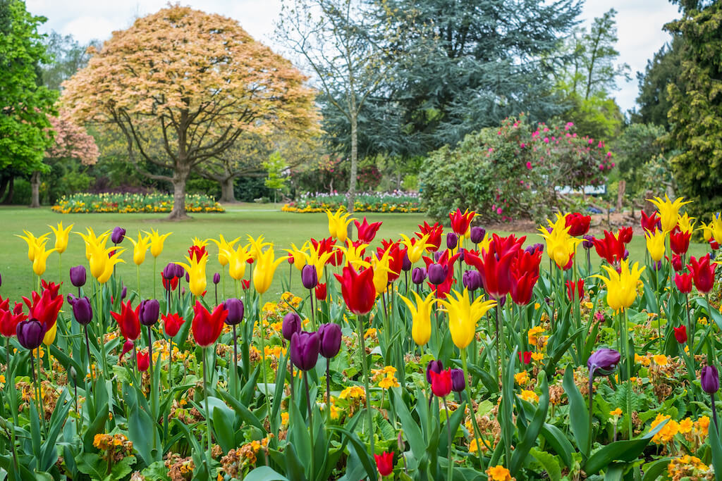 Colorful tulips seen at Cannon Hill Park