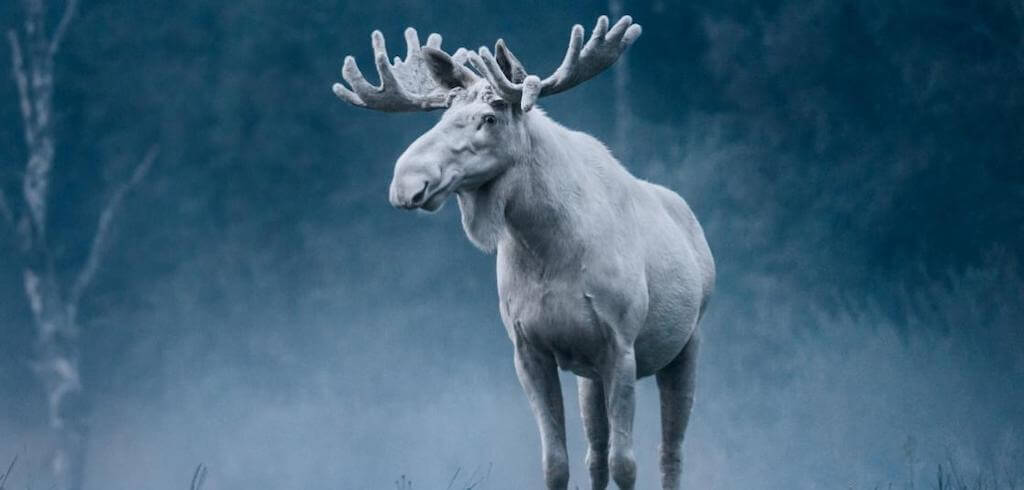 varmland white moose