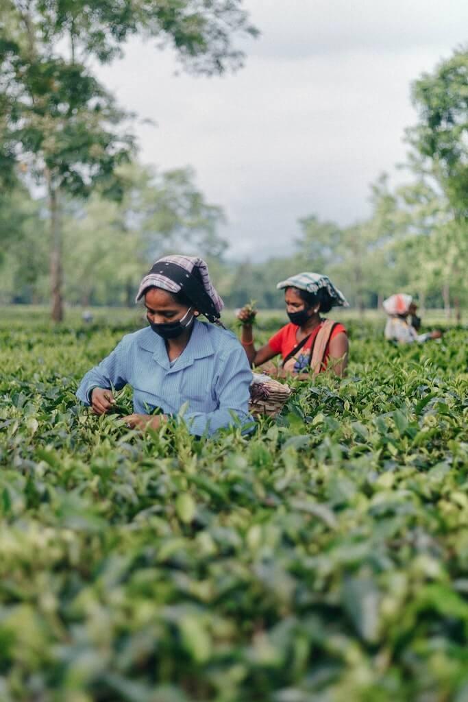 Assamese tea plantation