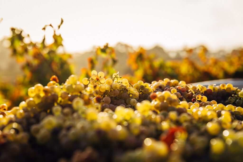 grapes in barossa valley