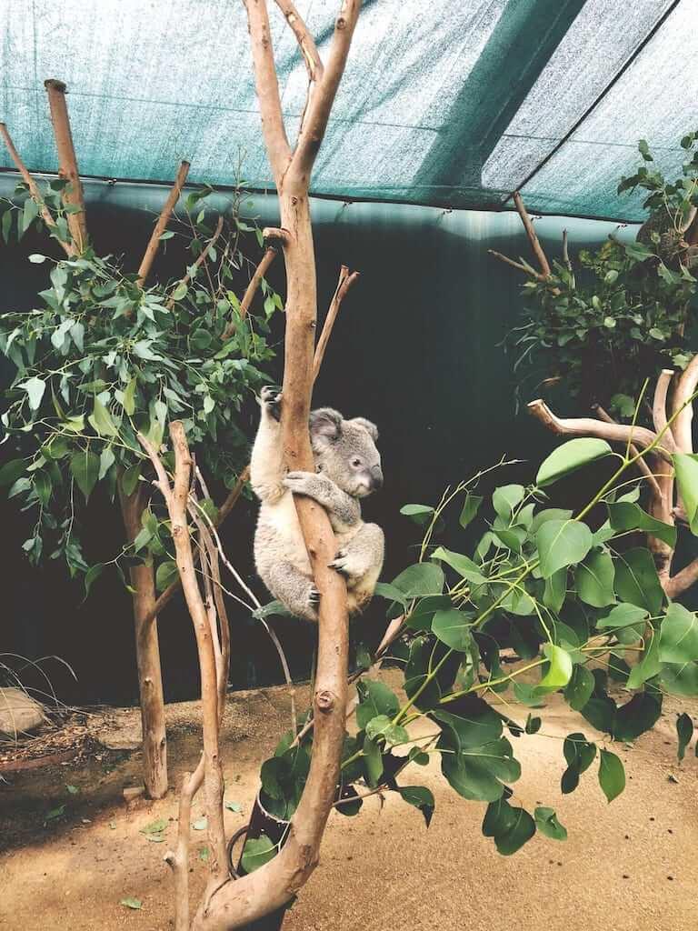 koala hanging on a tree