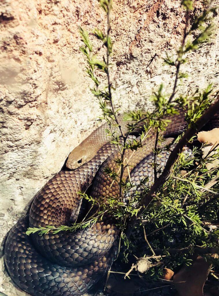 dangerous snake in australia