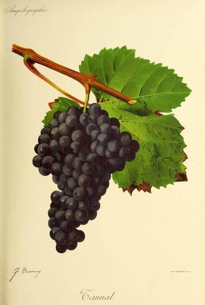 Drawing of tannat grapes