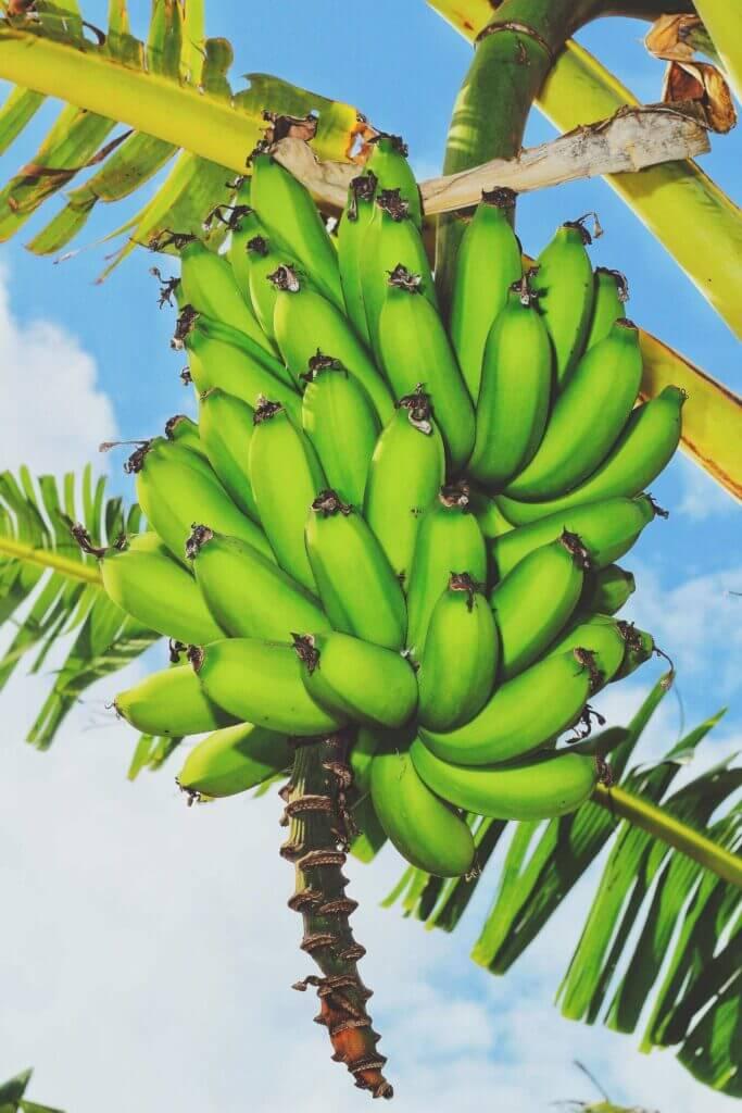 unripe green bananas