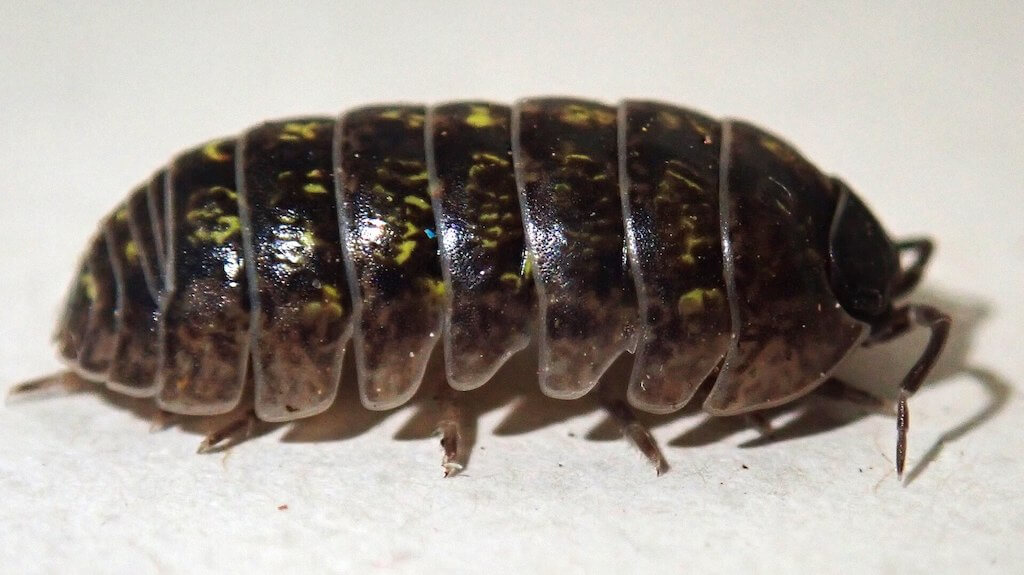 A wood louse