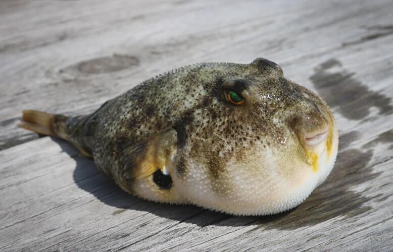 fugu or pufferfish