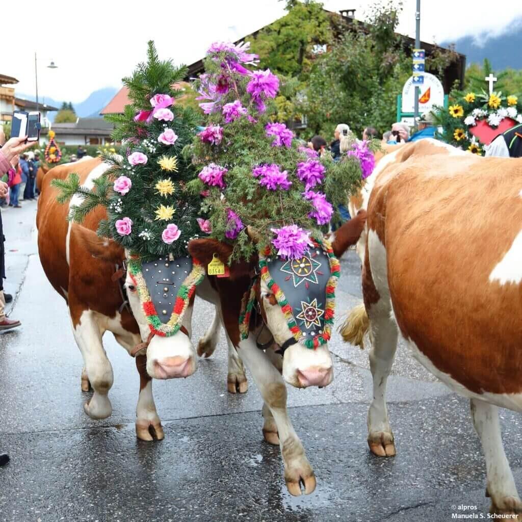 Austrian tradition of Almabtrieb