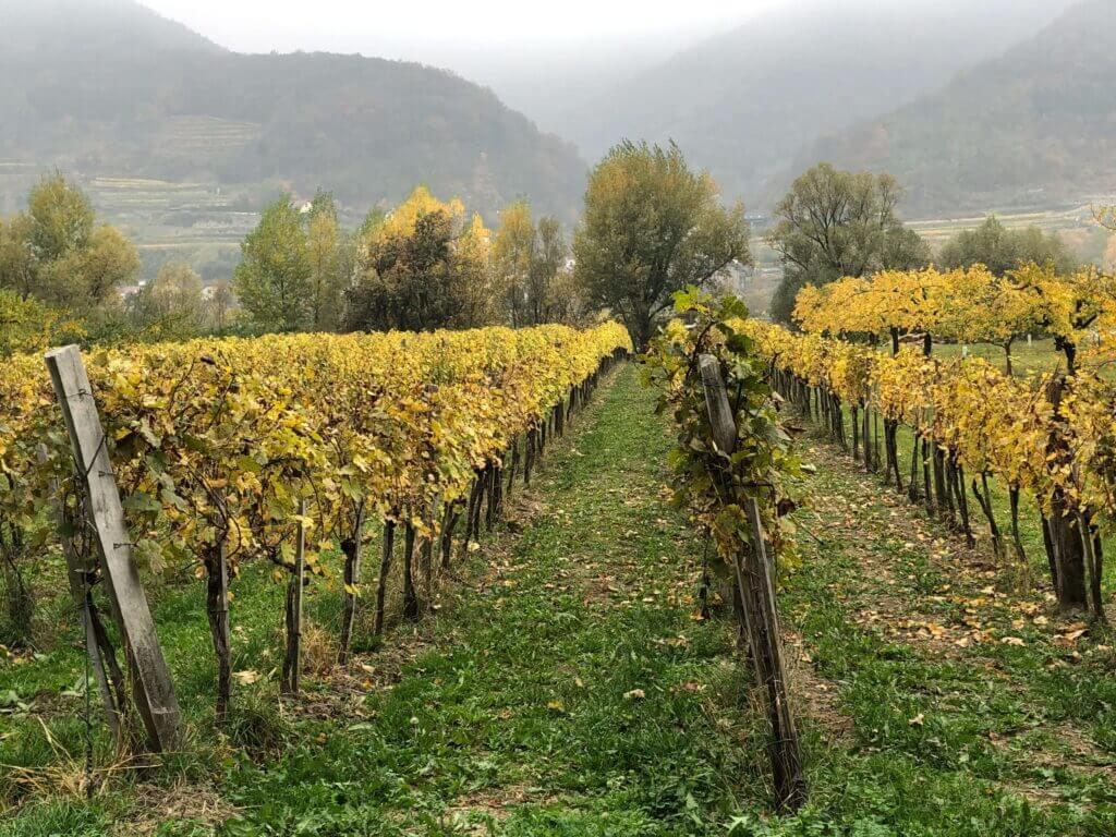 Vineyard in Austria