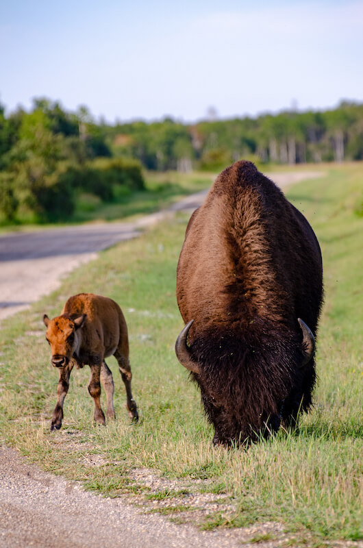 Bison in 3. Riding Mountain National Park