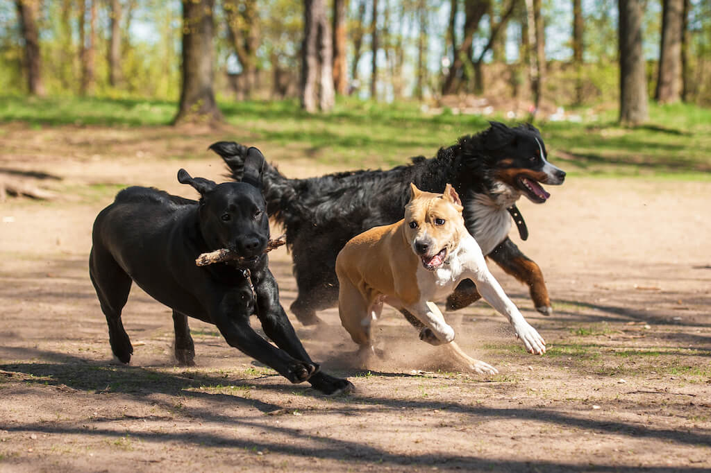 Dogs having fun running and playing at the dog park.